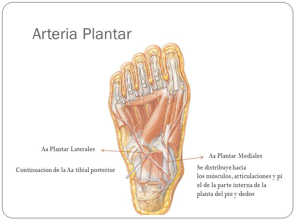 Arteria Plantar Aa Plantar Mediales Aa Plantar Laterales Continuacion de la Aa tibial posterior Se distribuye hacia los músculos, articulaciones y pi el de la parte interna de la planta del pie y dedos