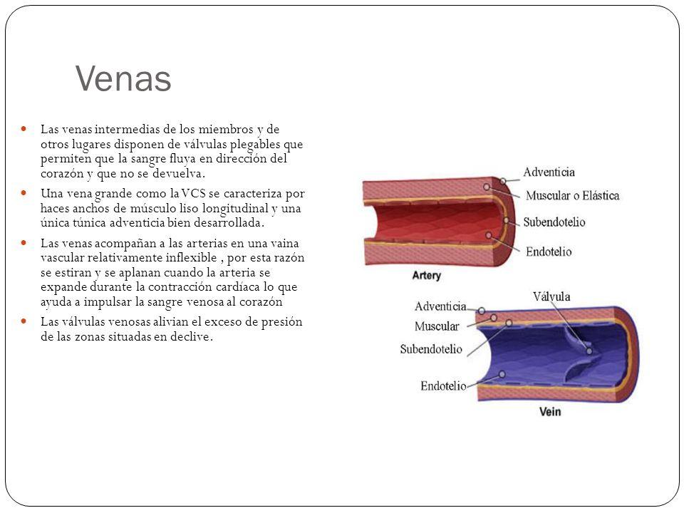 Venas Las venas intermedias de los miembros y de otros lugares disponen de válvulas plegables que permiten que la sangre fluya en dirección del corazón y que no se devuelva.