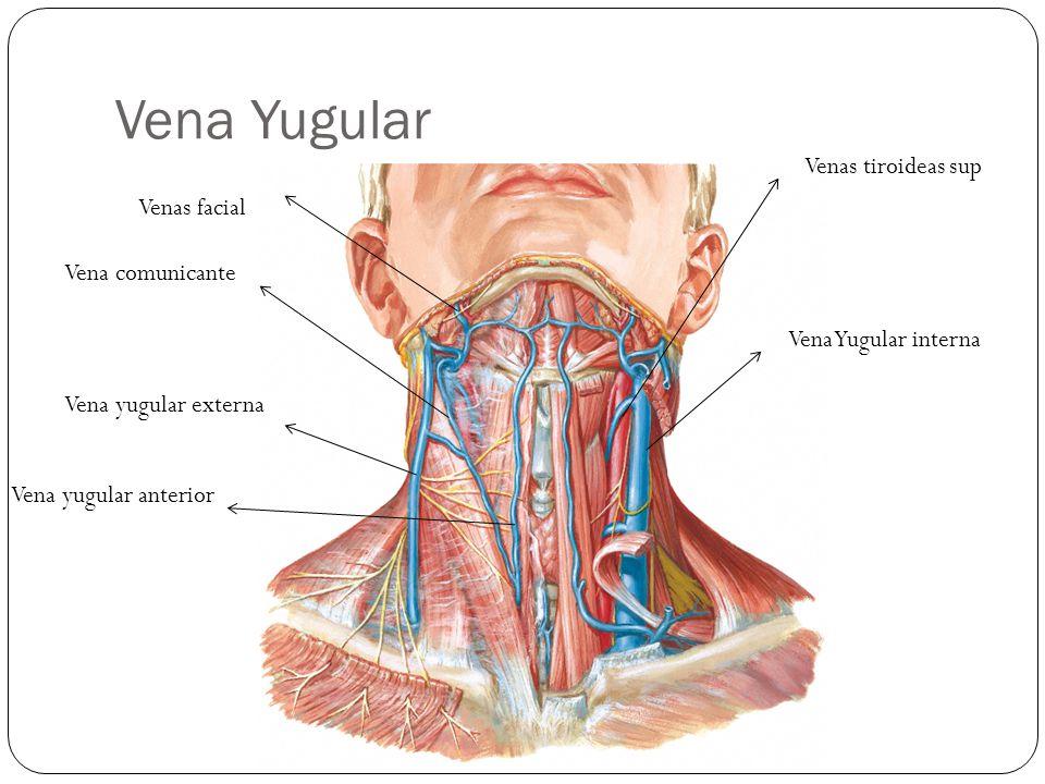 Vena Yugular Vena Yugular interna Venas tiroideas sup Vena yugular anterior Vena yugular externa Vena comunicante Venas facial