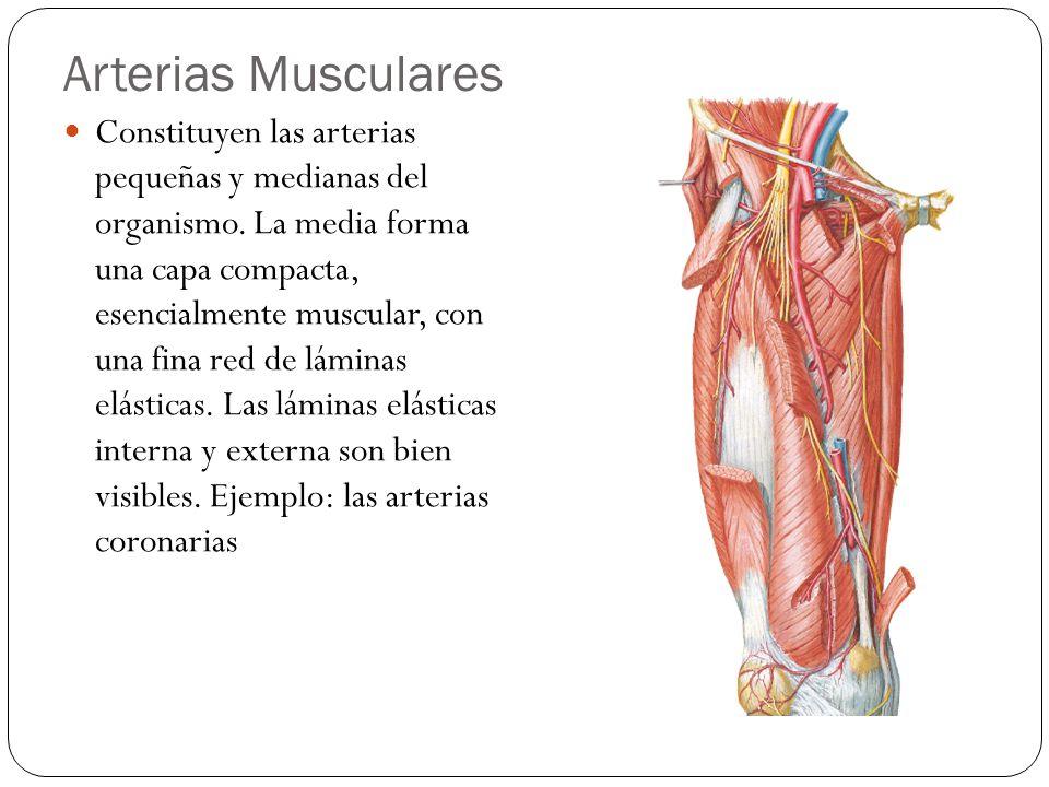 Arteriolas Son las de menor tamaño y poseen una luz bastante estrecha y paredes musculares gruesas.