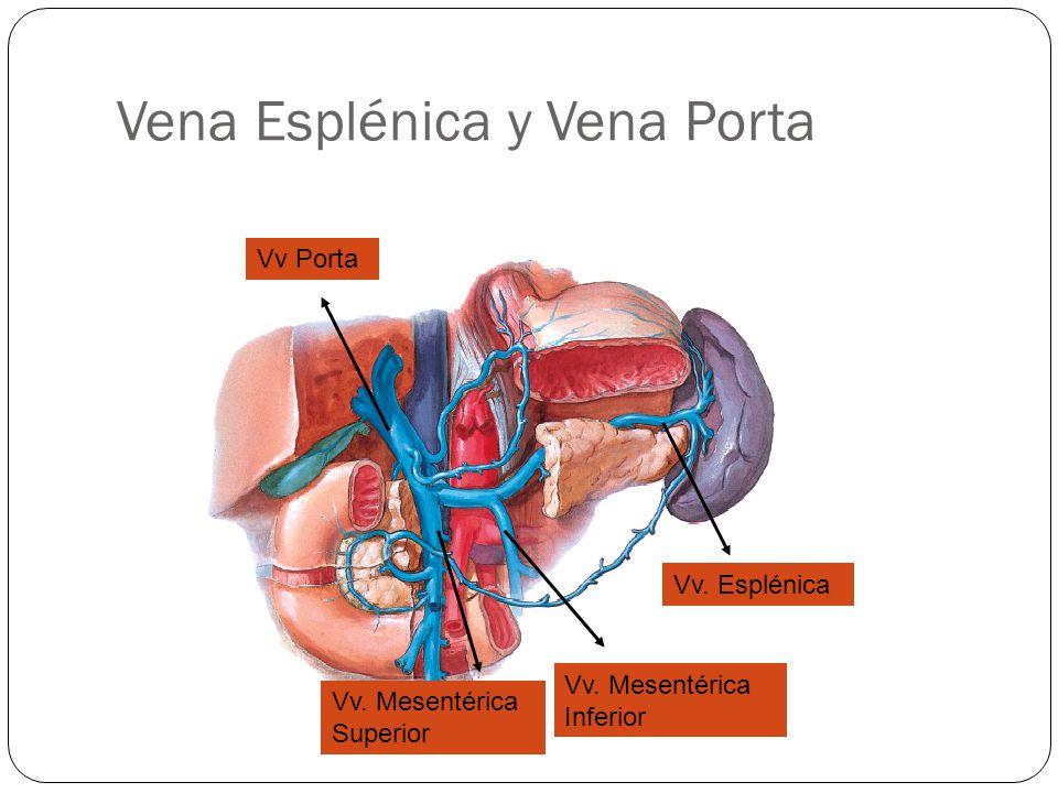 Vena Esplénica y Vena Porta Vv.Esplénica Vv Porta Vv.