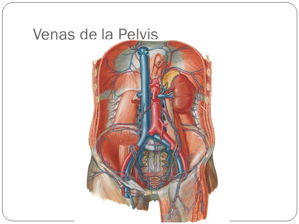 Venas de la Pelvis