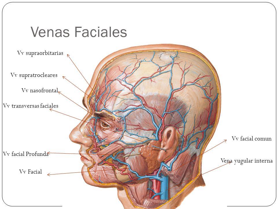 Venas Faciales Vena yugular interna Vv facial comun Vv Facial Vv facial Profunda Vv transversas faciales Vv nasofrontal Vv supraorbitarias Vv supratrocleares