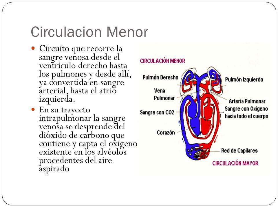 Circulacion Menor Circuito que recorre la sangre venosa desde el ventrículo derecho hasta los pulmones y desde allí, ya convertida en sangre arterial, hasta el atrio izquierda.