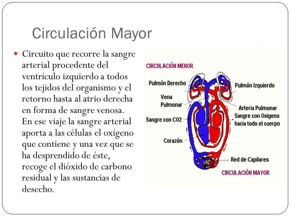 Circulacion menor y mayor AD=Aurícula Derecha V.Tricúspide=Válvula Tricúspide VD=Ventrículo Derecho V.Pulmonar= Válvula Pulmonar AP= Arteria Pulmonar P= PULMONES AI= Aurícula Izquierda V.Mitral= Válvula Mitral VI=Ventrículo Izquierdo V.Aórtica= Válvula Aórtica AO= Arteria Aorta C=CUERPO