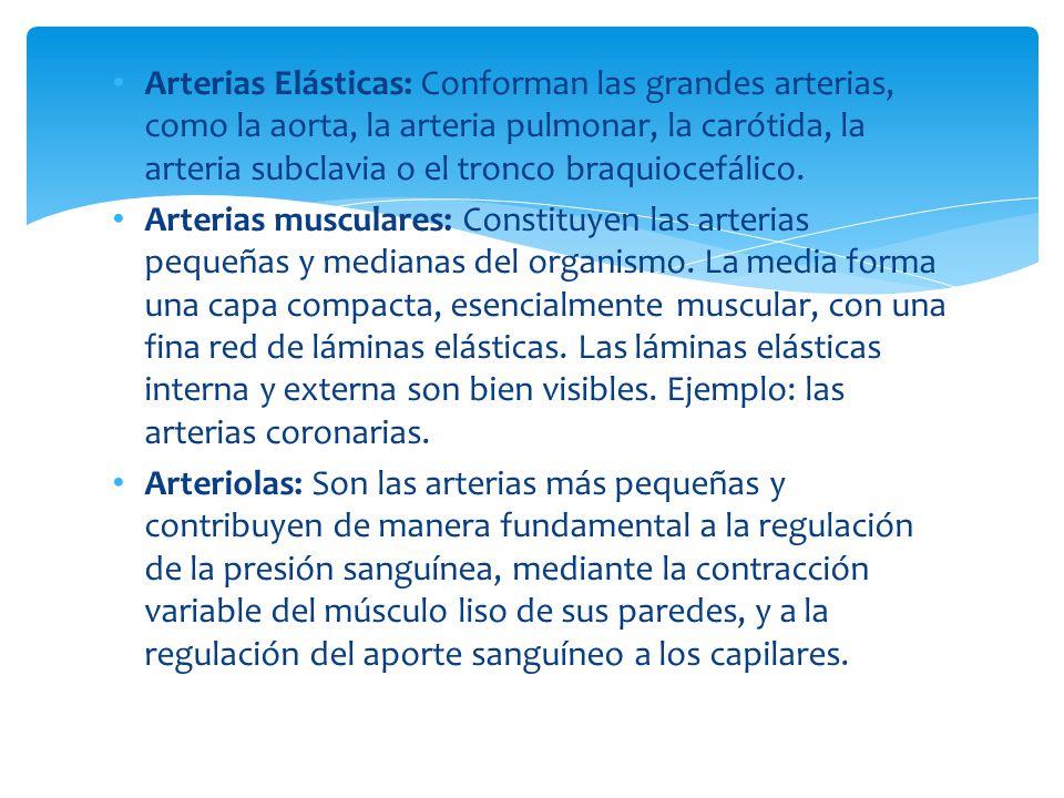 Arterias Elásticas: Conforman las grandes arterias, como la aorta, la arteria pulmonar, la carótida, la arteria subclavia o el tronco braquiocefálico.