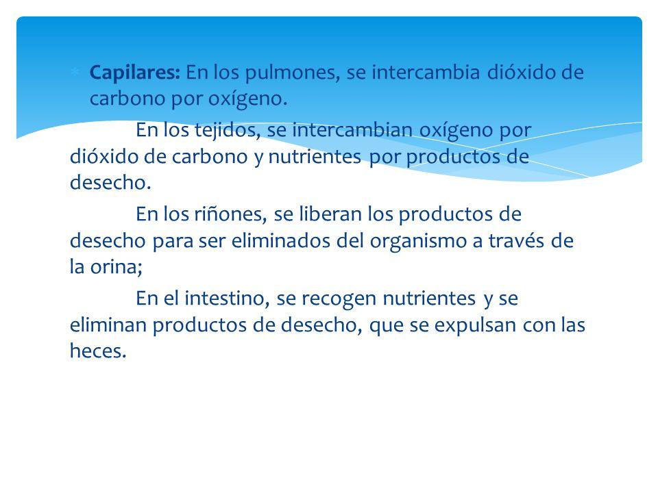 Capilares: En los pulmones, se intercambia dióxido de carbono por oxígeno. En los tejidos, se intercambian oxígeno por dióxido de carbono y nutrientes