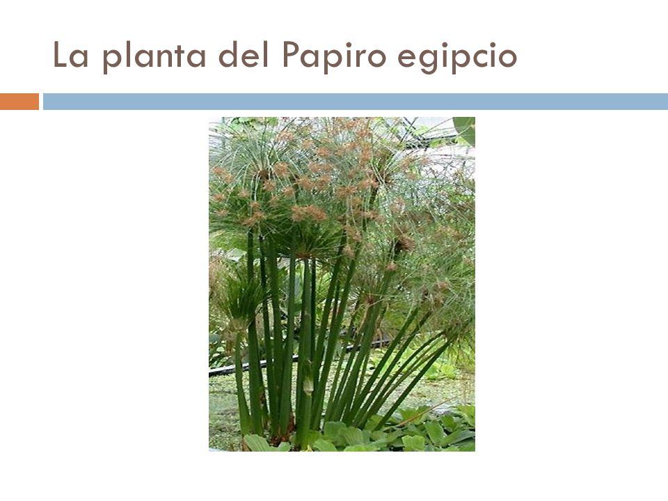 La planta del Papiro egipcio