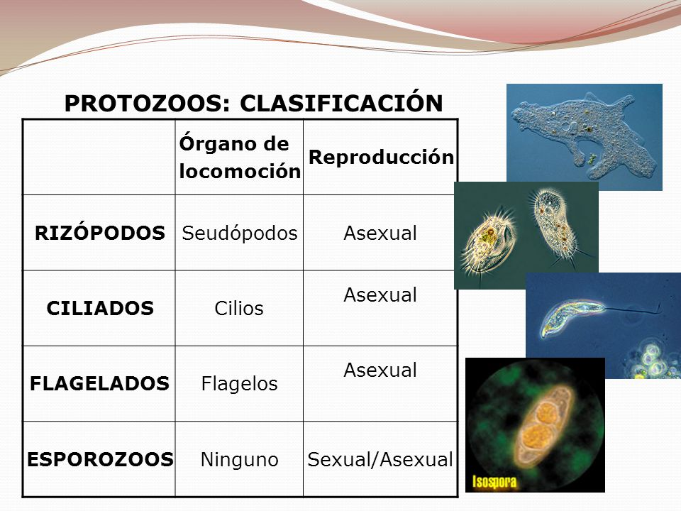 Órgano de locomoción Reproducción RIZÓPODOSSeudópodosAsexual CILIADOSCilios Asexual FLAGELADOSFlagelos Asexual ESPOROZOOSNingunoSexual/Asexual PROTOZO