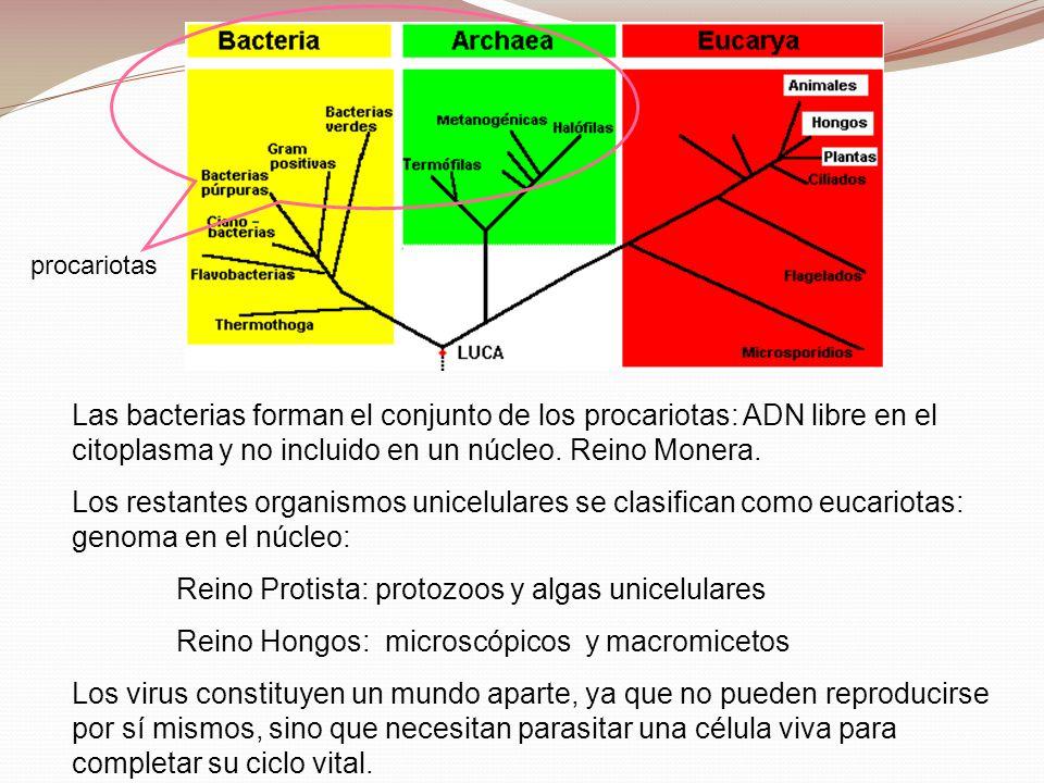 Las bacterias forman el conjunto de los procariotas: ADN libre en el citoplasma y no incluido en un núcleo. Reino Monera. Los restantes organismos uni