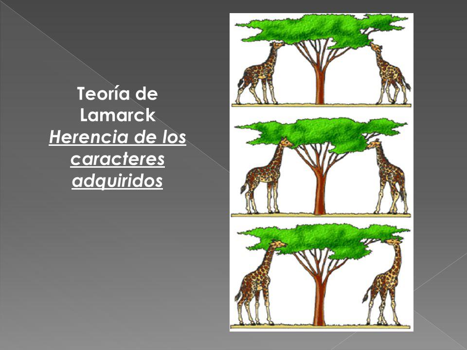 Teoría de Lamarck Herencia de los caracteres adquiridos