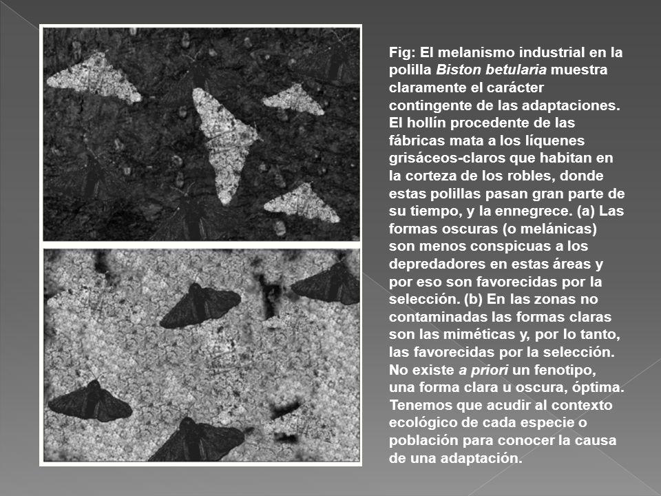 Fig: El melanismo industrial en la polilla Biston betularia muestra claramente el carácter contingente de las adaptaciones. El hollín procedente de la