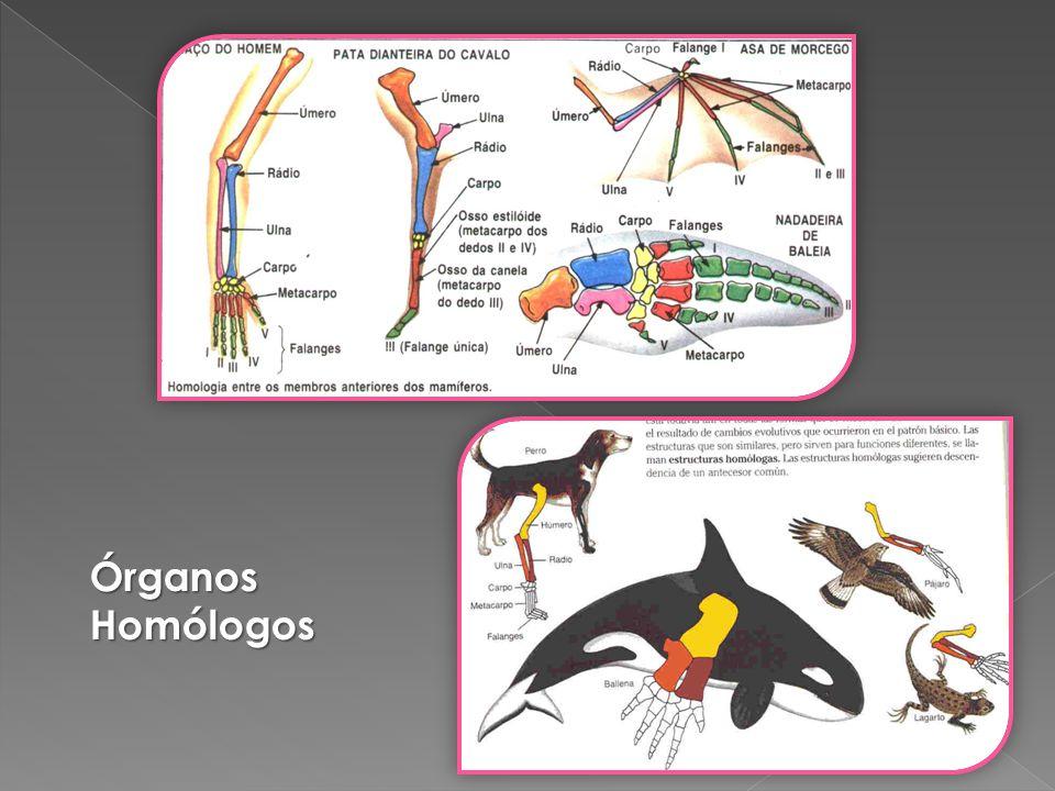 Órganos Homólogos