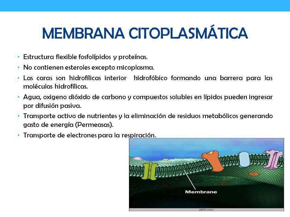 MEMBRANA CITOPLASMÁTICA Estructura flexible fosfolípidos y proteínas. No contienen esteroles excepto micoplasma. Las caras son hidrofílicas interior h