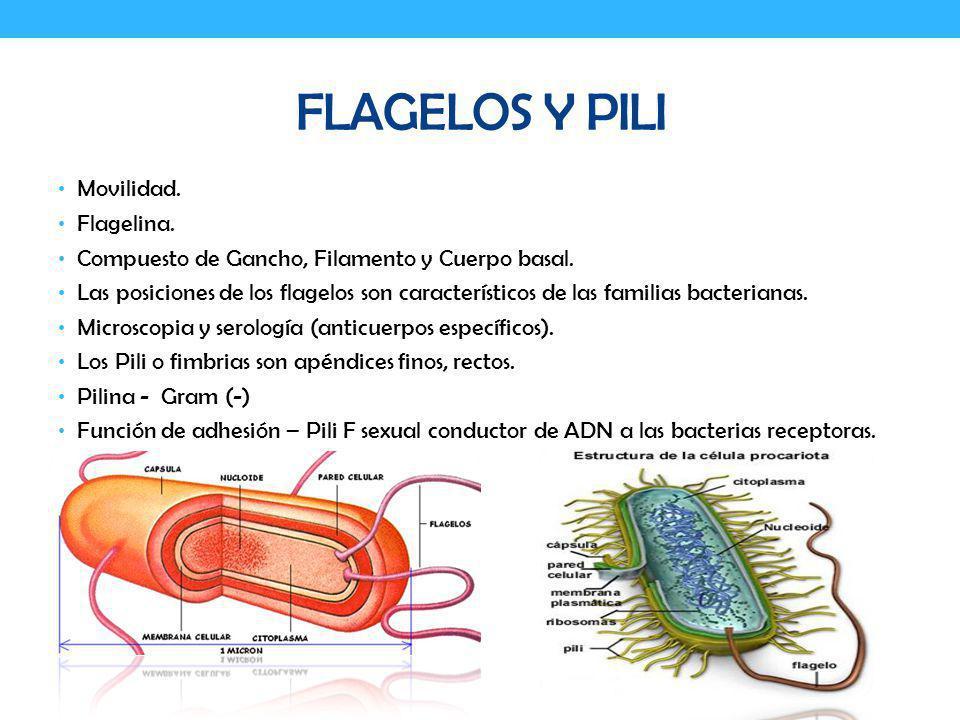 FLAGELOS Y PILI Movilidad. Flagelina. Compuesto de Gancho, Filamento y Cuerpo basal. Las posiciones de los flagelos son característicos de las familia