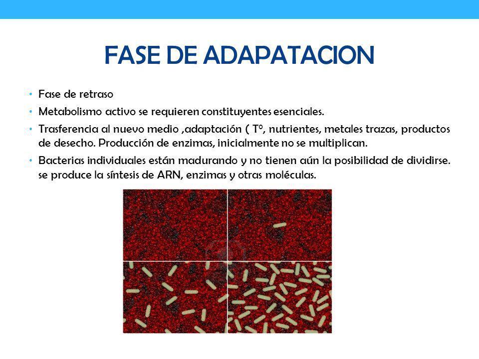 FASE DE ADAPATACION Fase de retraso Metabolismo activo se requieren constituyentes esenciales. Trasferencia al nuevo medio,adaptación ( T°, nutrientes