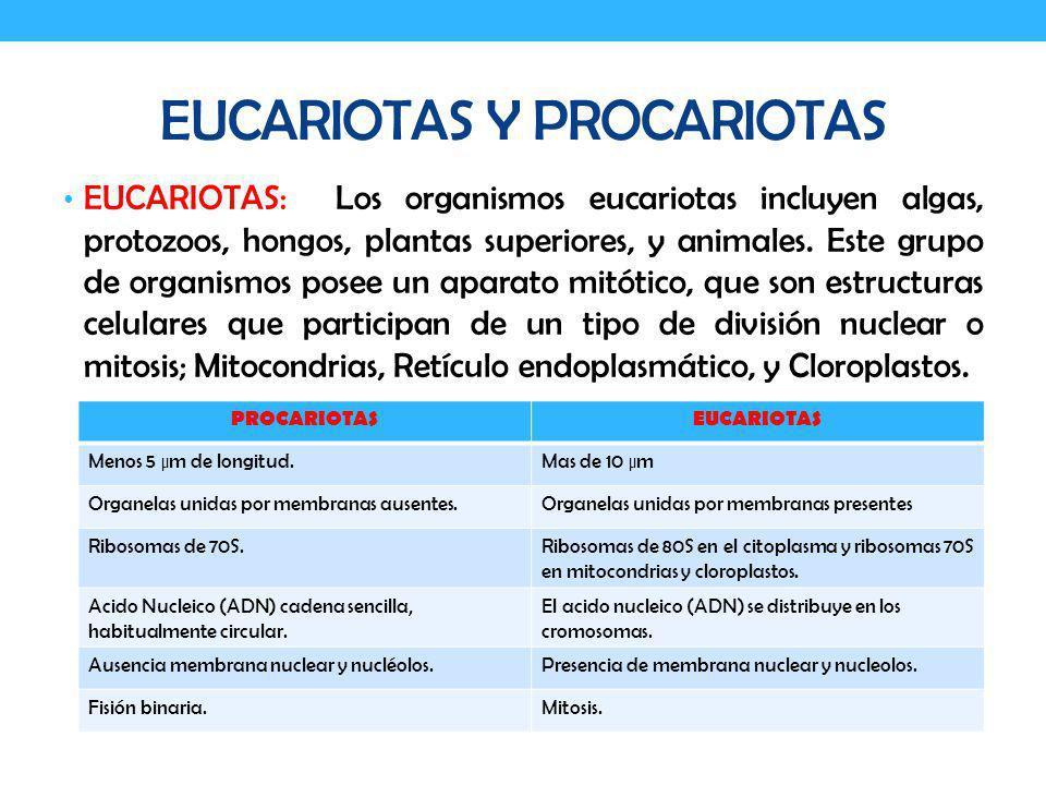 EUCARIOTAS Y PROCARIOTAS EUCARIOTAS: Los organismos eucariotas incluyen algas, protozoos, hongos, plantas superiores, y animales. Este grupo de organi