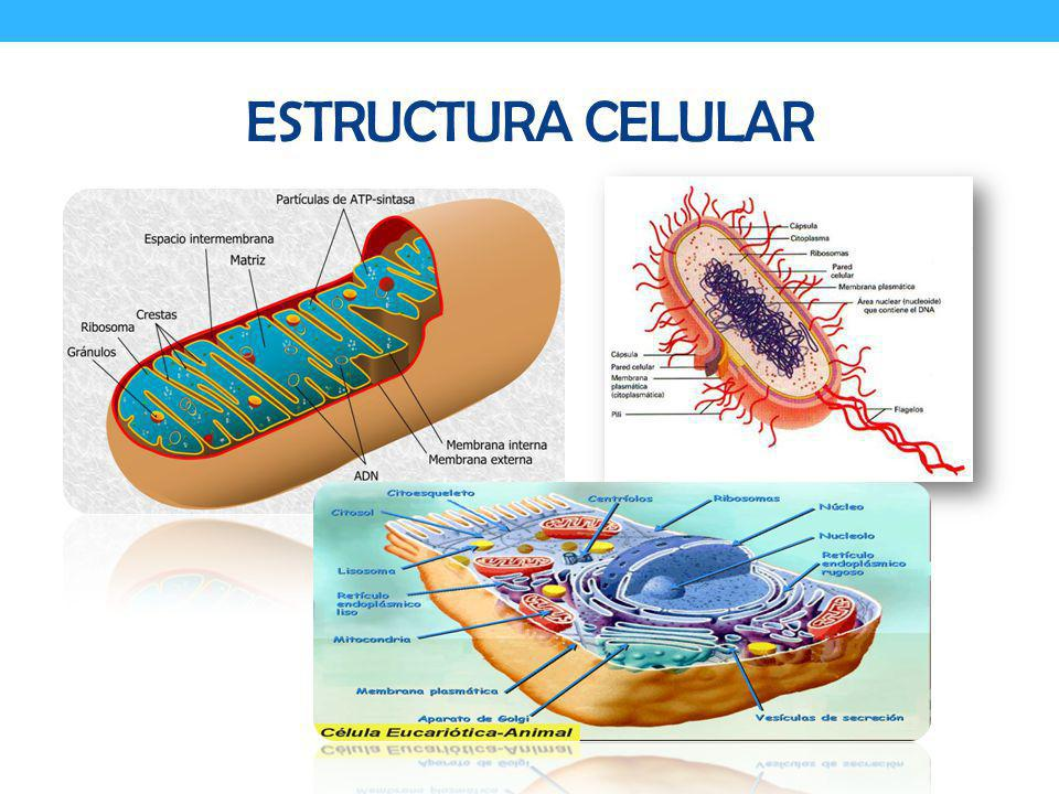 FASE DE ADAPATACION Fase de retraso Metabolismo activo se requieren constituyentes esenciales.
