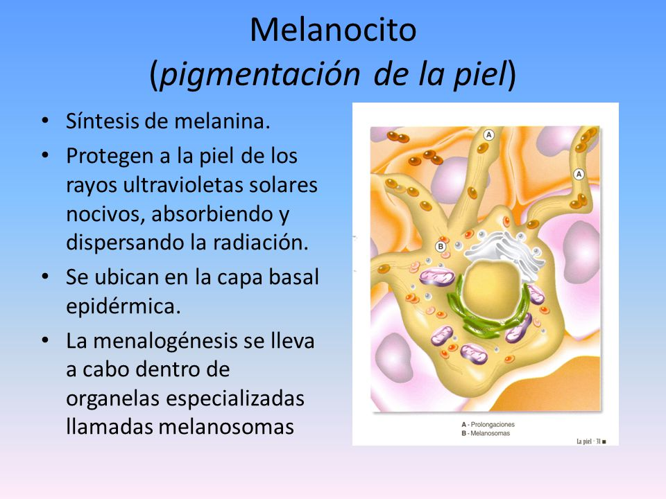 Célula de Langerhans (Respuesta Inmunitaria) Células inmunológicas.