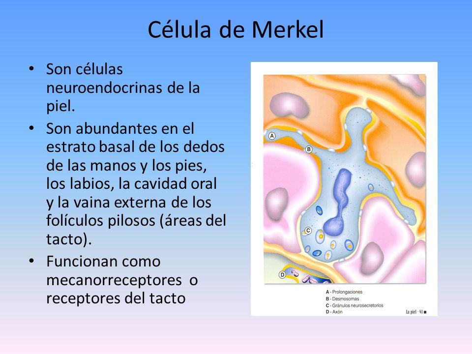 Membrana basal sirve como interface entre la dermis y la epidermis asegura la adhesión de la dermis a la epidermis filtro selectivo de las moléculas que se mueven entre ambos tejidos sitio importante de depósito de inmunoglobulinas y de complemento cuando existe enfermedad de la piel está afectada en los trastornos cutáneos que producen formación de ampollas