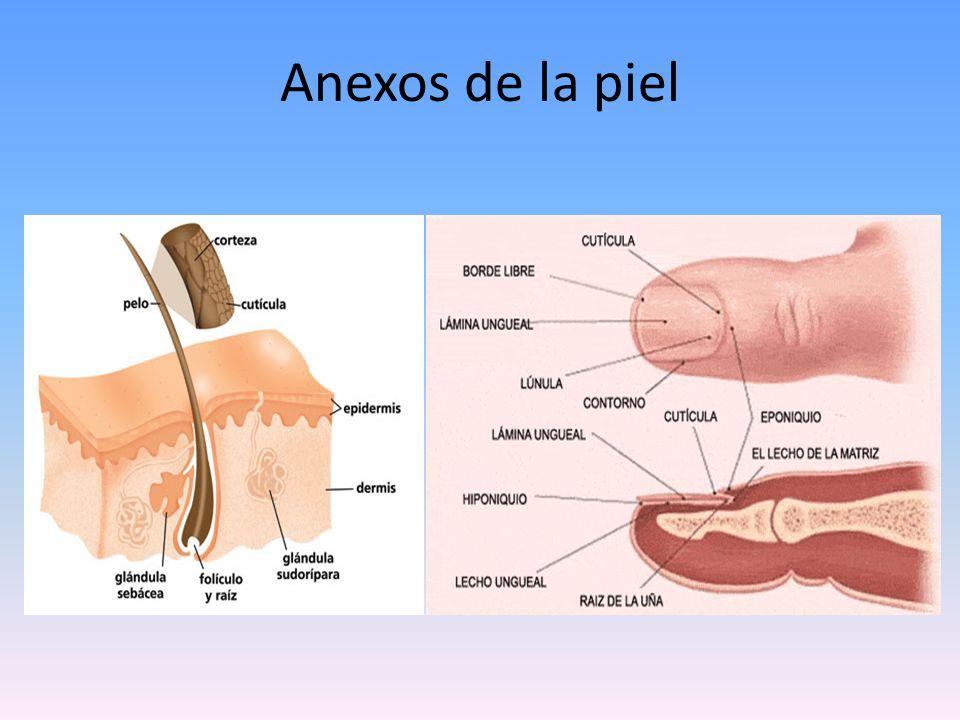 Glándulas sudoríparas glándula sudorípara ecrina Estructuras tubulares simples se originan en la dermis y se abren directamente en la superficie cutánea.