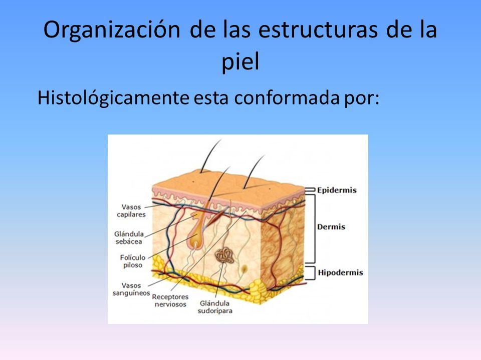 Epidermis Capa más superficial y se encuentra en contacto directo con el exterior.