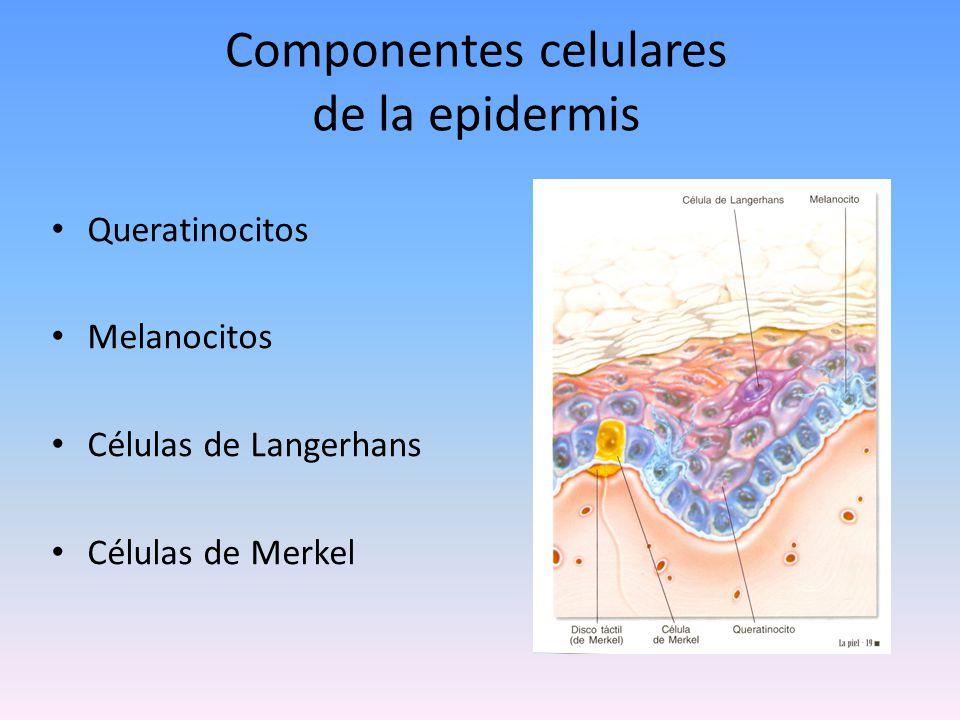 queratinocitos Células primordiales de la epidermis.