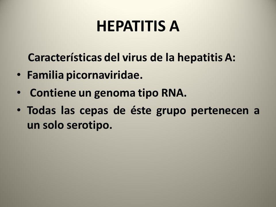Características del virus de la hepatitis A: Familia picornaviridae. Contiene un genoma tipo RNA. Todas las cepas de éste grupo pertenecen a un solo s