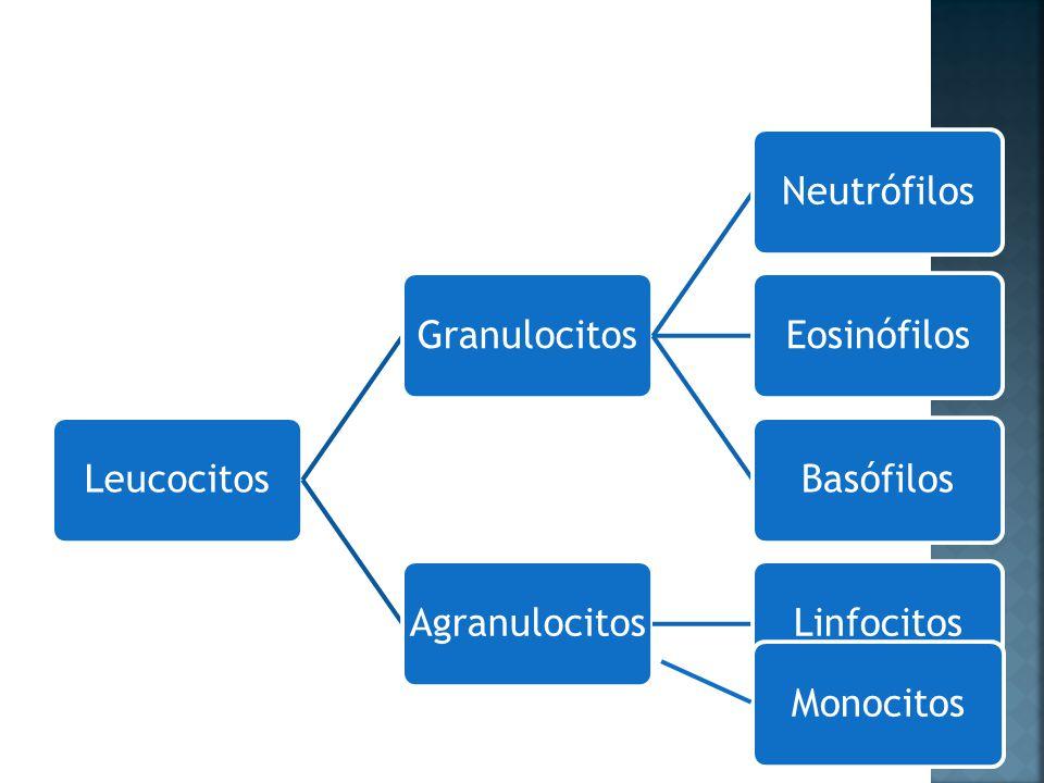 LeucocitosGranulocitosNeutrófilosEosinófilosBasófilosAgranulocitosLinfocitosMonocitos