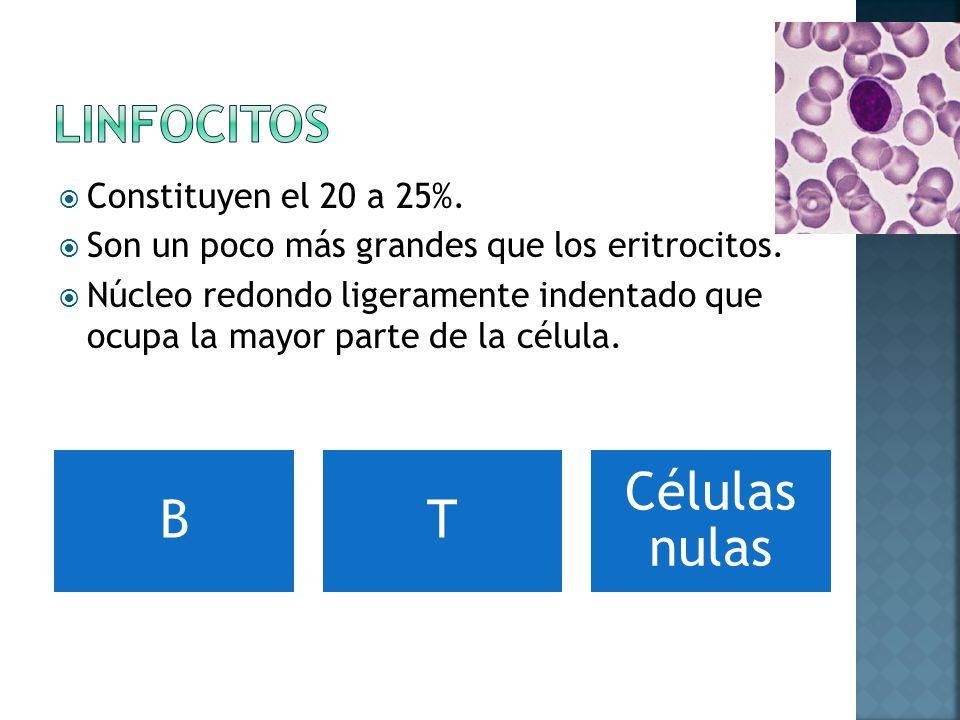 Constituyen el 20 a 25%.Son un poco más grandes que los eritrocitos.