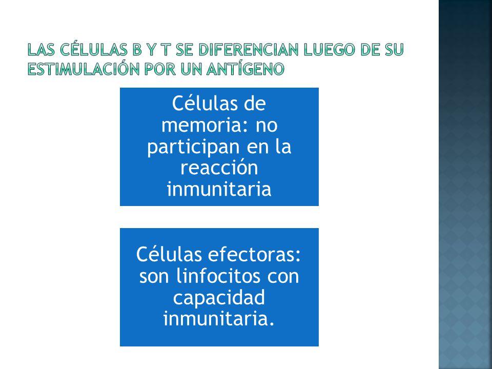 Células de memoria: no participan en la reacción inmunitaria Células efectoras: son linfocitos con capacidad inmunitaria.
