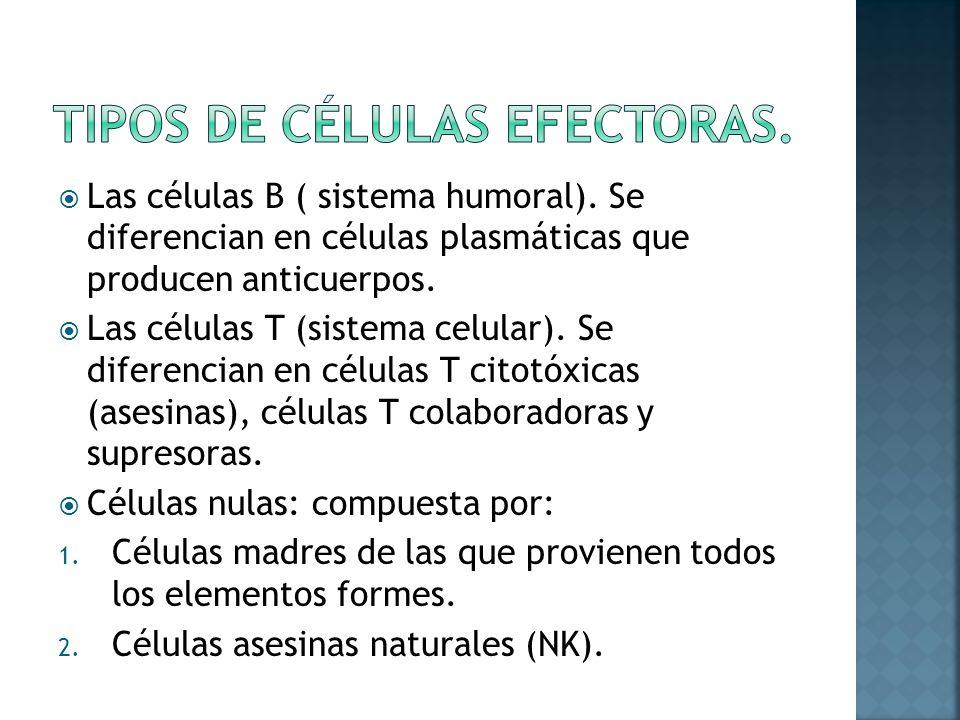 Las células B ( sistema humoral).Se diferencian en células plasmáticas que producen anticuerpos.