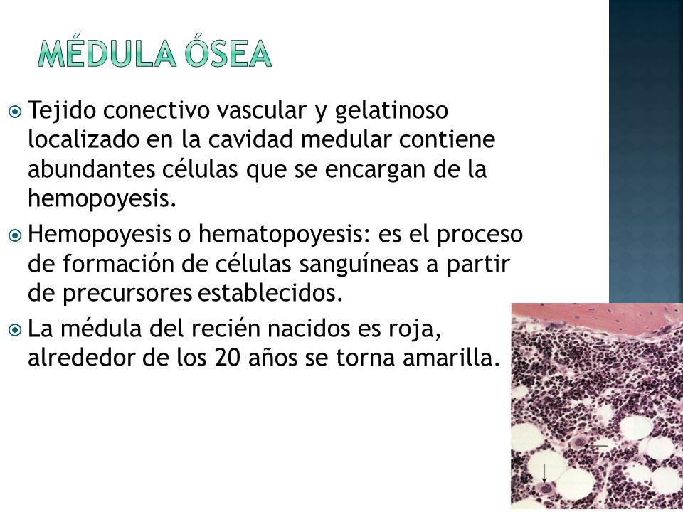 Tejido conectivo vascular y gelatinoso localizado en la cavidad medular contiene abundantes células que se encargan de la hemopoyesis.