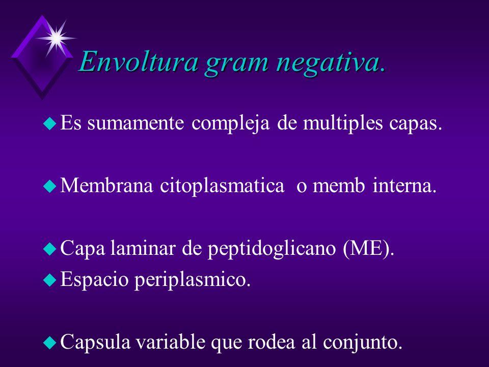 Envoltura gram negativa.u Es sumamente compleja de multiples capas.