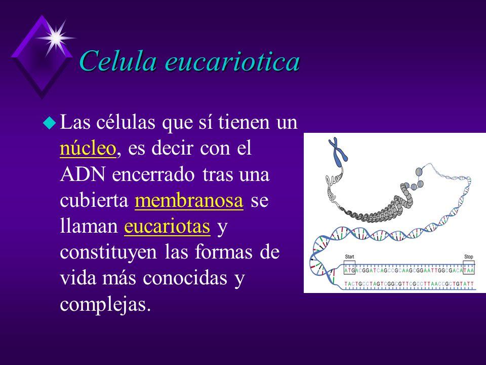 Celula eucariotica u Las células que sí tienen un núcleo, es decir con el ADN encerrado tras una cubierta membranosa se llaman eucariotas y constituyen las formas de vida más conocidas y complejas.
