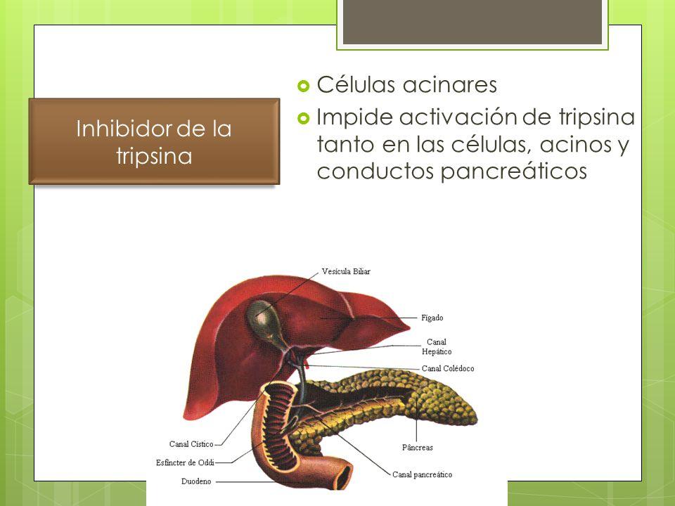 Células acinares Impide activación de tripsina tanto en las células, acinos y conductos pancreáticos Inhibidor de la tripsina