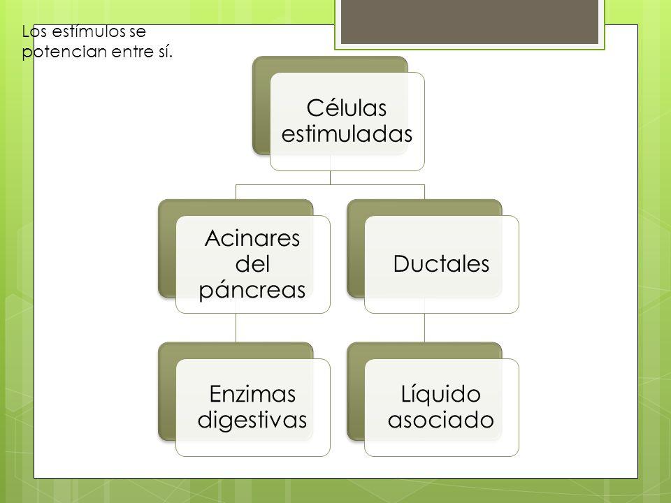 Células estimuladas Acinares del páncreas Enzimas digestivas Ductales Líquido asociado Los estímulos se potencian entre sí.