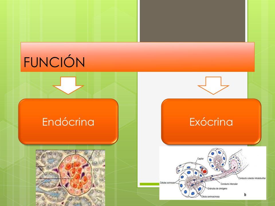 FUNCIÓN EndócrinaExócrina