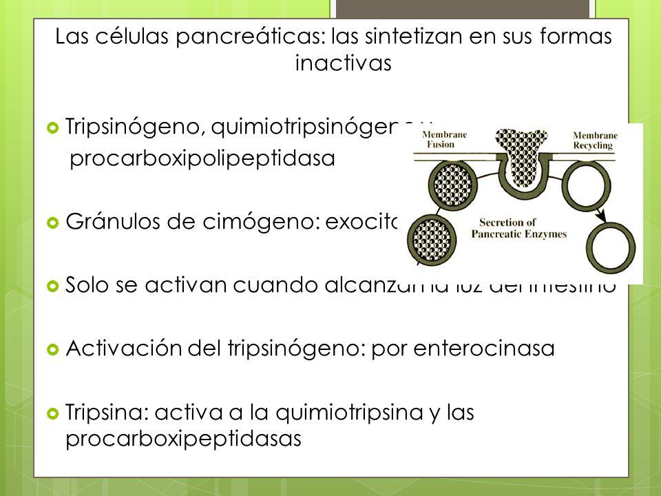Las células pancreáticas: las sintetizan en sus formas inactivas Tripsinógeno, quimiotripsinógeno y procarboxipolipeptidasa Gránulos de cimógeno: exoc
