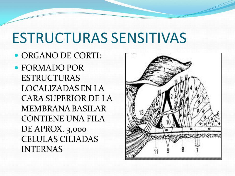 ESTRUCTURAS SENSITIVAS ORGANO DE CORTI: FORMADO POR ESTRUCTURAS LOCALIZADAS EN LA CARA SUPERIOR DE LA MEMBRANA BASILAR CONTIENE UNA FILA DE APROX. 3,0