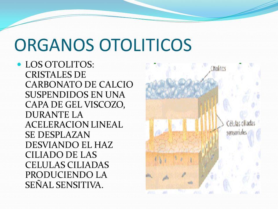ORGANOS OTOLITICOS LOS OTOLITOS: CRISTALES DE CARBONATO DE CALCIO SUSPENDIDOS EN UNA CAPA DE GEL VISCOZO, DURANTE LA ACELERACION LINEAL SE DESPLAZAN D