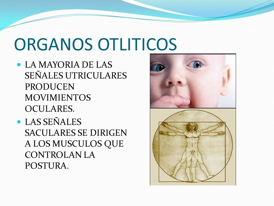 ORGANOS OTLITICOS LA MAYORIA DE LAS SEÑALES UTRICULARES PRODUCEN MOVIMIENTOS OCULARES. LAS SEÑALES SACULARES SE DIRIGEN A LOS MUSCULOS QUE CONTROLAN L