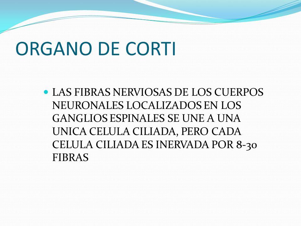 ORGANO DE CORTI LAS FIBRAS NERVIOSAS DE LOS CUERPOS NEURONALES LOCALIZADOS EN LOS GANGLIOS ESPINALES SE UNE A UNA UNICA CELULA CILIADA, PERO CADA CELU