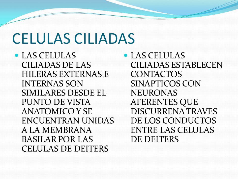 CELULAS CILIADAS LAS CELULAS CILIADAS DE LAS HILERAS EXTERNAS E INTERNAS SON SIMILARES DESDE EL PUNTO DE VISTA ANATOMICO Y SE ENCUENTRAN UNIDAS A LA M