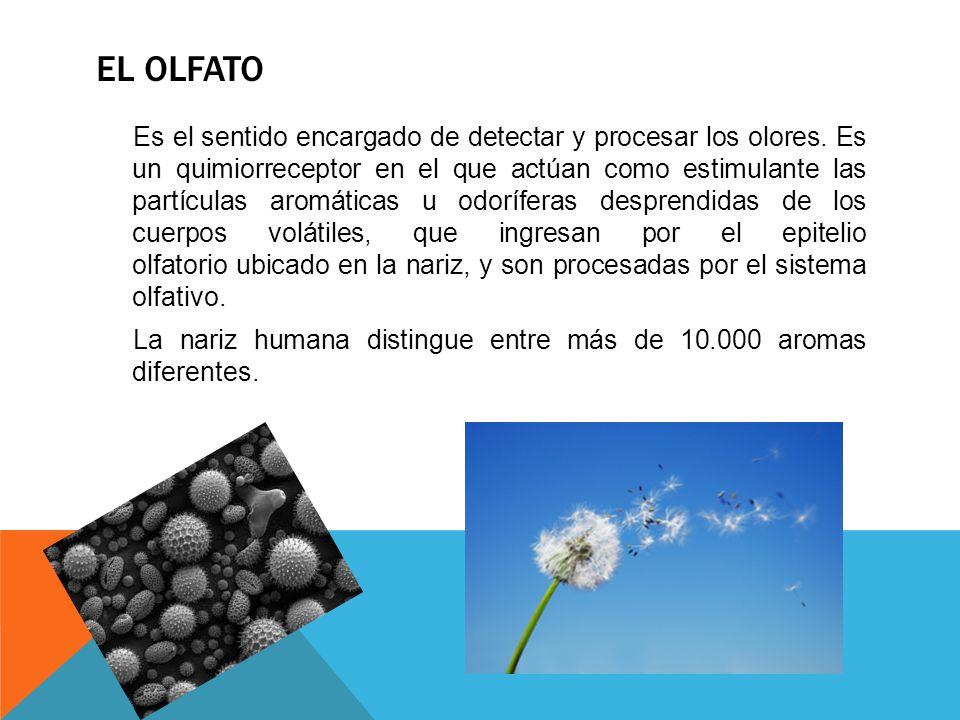 Es el sentido encargado de detectar y procesar los olores. Es un quimiorreceptor en el que actúan como estimulante las partículas aromáticas u odorífe