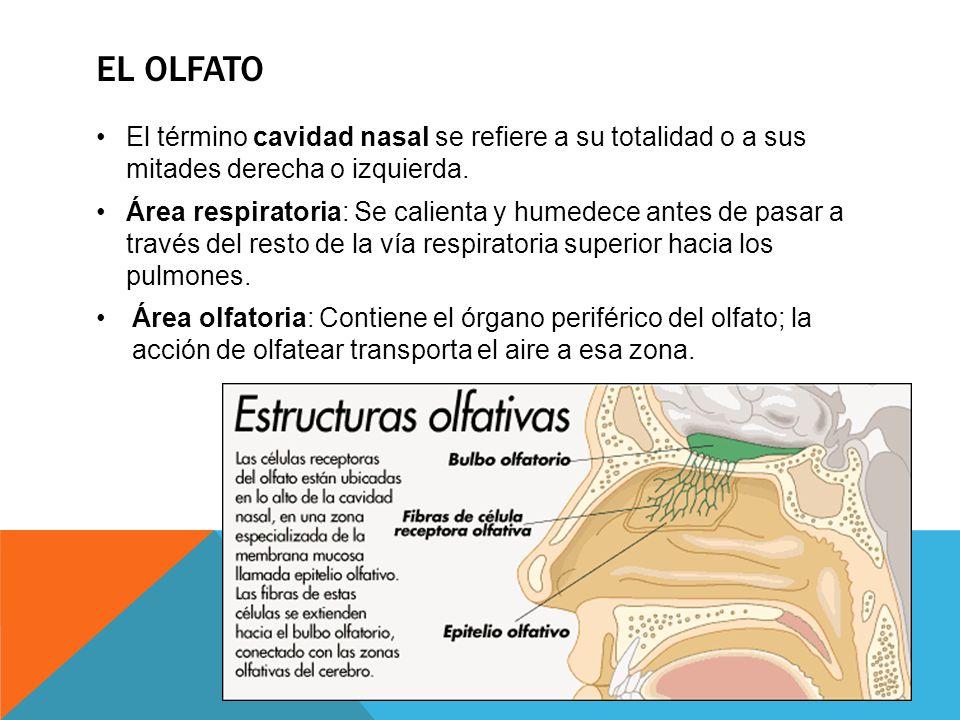 EL OLFATO El término cavidad nasal se refiere a su totalidad o a sus mitades derecha o izquierda. Área respiratoria: Se calienta y humedece antes de p