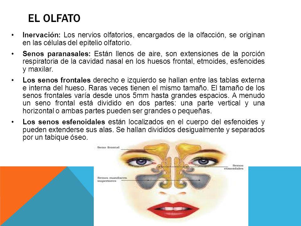 EL OLFATO Inervación: Los nervios olfatorios, encargados de la olfacción, se originan en las células del epitelio olfatorio. Senos paranasales: Están