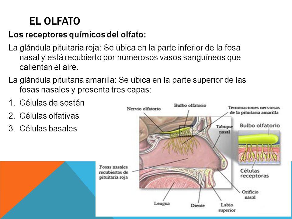 EL OLFATO Los receptores químicos del olfato: La glándula pituitaria roja: Se ubica en la parte inferior de la fosa nasal y está recubierto por numero