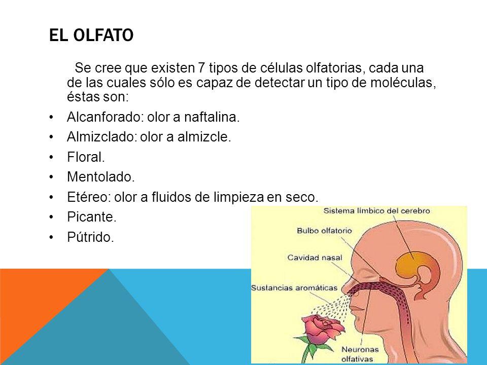 EL OLFATO Se cree que existen 7 tipos de células olfatorias, cada una de las cuales sólo es capaz de detectar un tipo de moléculas, éstas son: Alcanfo