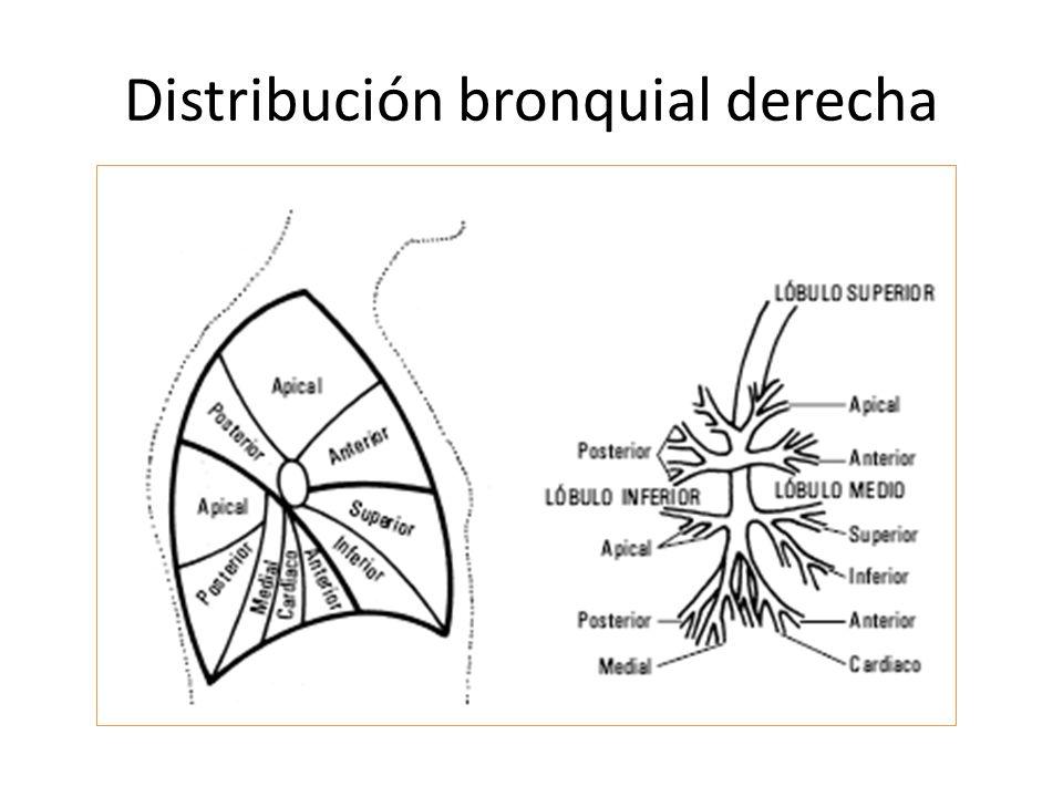 Distribución bronquial derecha